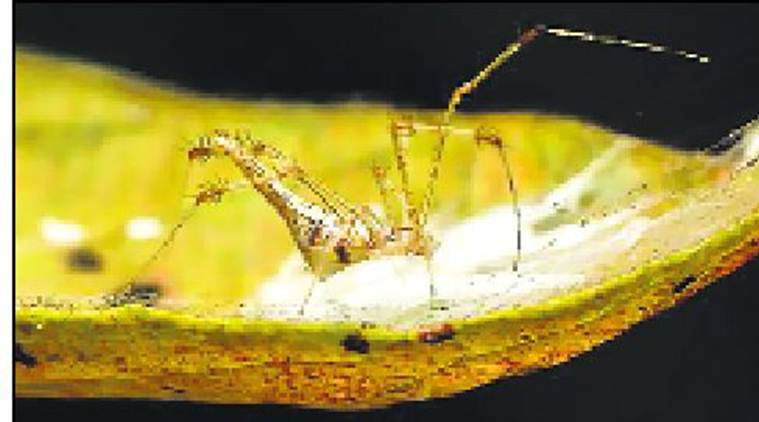 New Indian spider, named for Western Ghats