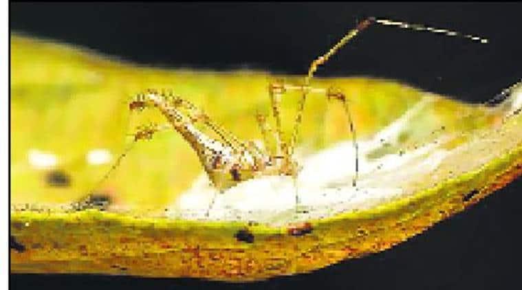 Meotipa sahyadri, Indian spider Meotipa sahyadri, Western Ghats, Siddharth Kulkarni, Spider, Indian Express, Indian Express News