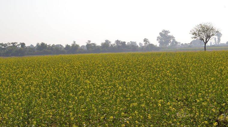 GM mustard permit, GM Mustard, India GM mustard permit, mustard permit, Genetic Engineering Appraisal Committee, GEAC, India News, Indian Express, Indian Express News