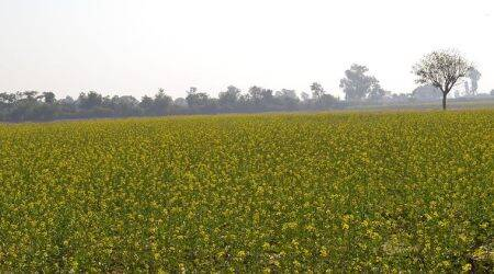 Document suggests GEAC kept decision pending on GM mustard's commercial release