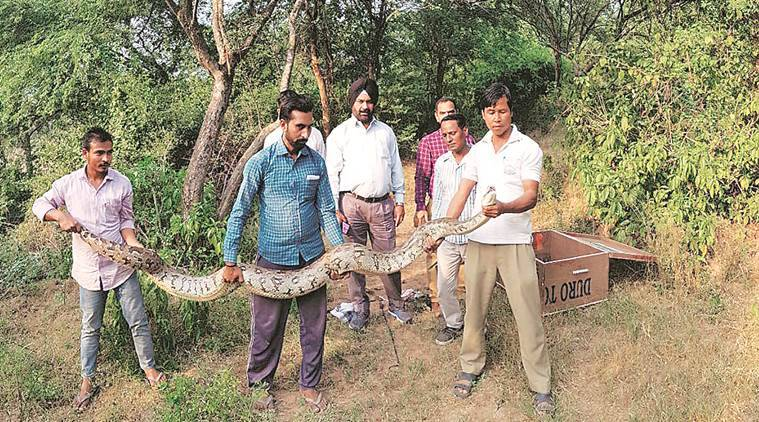 Python, Python rescue, india Python, chandigarh Python, chandigarh news, indian express news