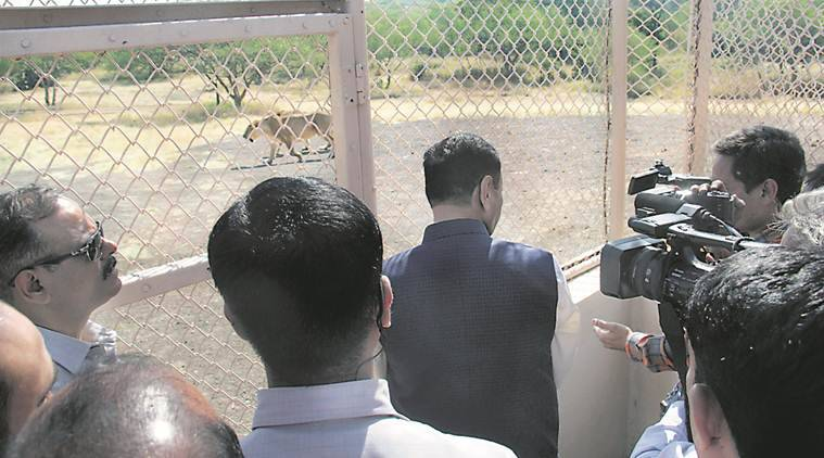 lion safari park at Ambardi gujarat, Chief Minister Vijay Rupani , Ambardi reserved forest, Gujarat safari park, safari parks in Gujarat, Gujarat news, indian express news