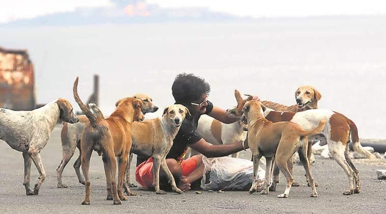 stray dogs, stray dog sterilisation, bmc, mumbai municipal corp, stray animals in mumbai, bmc dog sterilisation budget, indian express