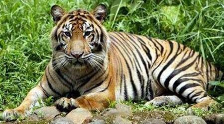 Sumatran Tiger Population, Sumatran Tiger, UNESCO World Heritage Site, UNESCO, Sumatran Tiger Extinct, World News, Latest World News, Indian Express, Indian Express News