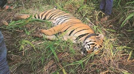 Saved by court once, freed amid concerns, tigress dies ofelectrocution