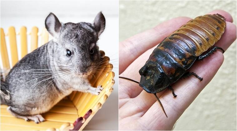 unusual pets to keep, rare pets that are legal to keep, legal pets, different types of pets, Pets that can be kept at home, Indian express, Indian express news