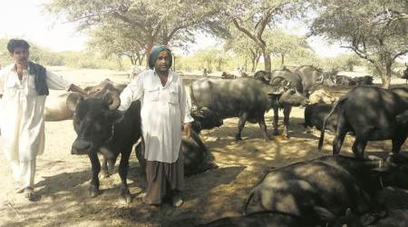 The incredible Banni buffalo breed: In arid Kutch, a village of 30 families that supplies Rs 2.2 crore worth of milk a year