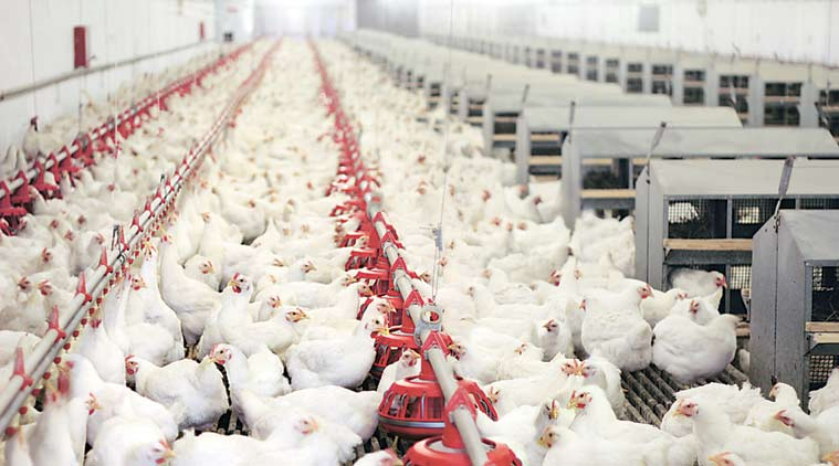 Waste from chickens, turkeys and other poultry animals can be considered an alternative fuel for electricity generation, reducing greenhouse requirement.