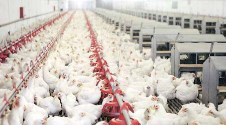 Chicken, turkey poop can be used as fuel for heat, electricity: Study