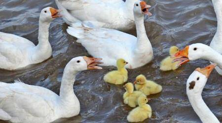 South Korea confirms H5N6 bird flu at duck farm, raises bird flu alert level