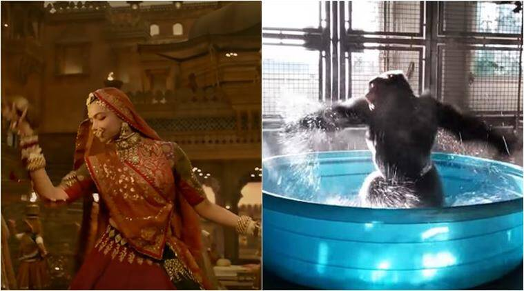 padmavati, deepika padukone, ghoomar, gorilla dancing video, gorilla ghoomar video, ghoomar funny video, viral video, cute animal videos, indian express