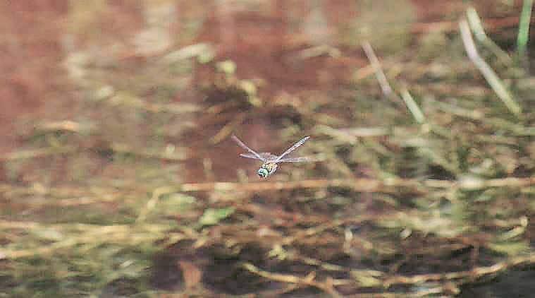 indian Emerald dragonfly, Periyar Tiger Reserve , PTR, dragonfly, Kerala dragonfly, travacore dragonfly, indian express