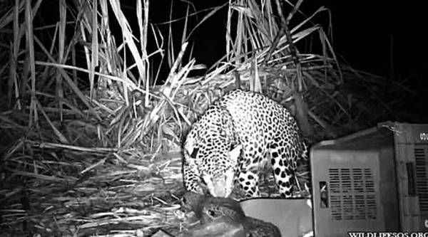 leopard, cubs, nashik village, Biphad taluka, wildlife SOS team, man-animal conflict, indian express, express online