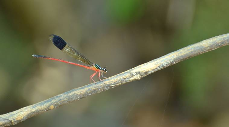 Periyar Tiger Reserve, Indian Emerald dragonfly, PTI, dragonfly, Kerala dragonfly, indian express