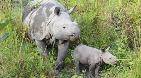 Ganga of Manas National Park is first rhino to be grandmother tracked in thewild
