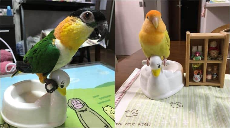 toilet training, pets toilet training, toilet, potty, bird poop, parrot potty, japan parrot potty, japan parrot potty training, odd news, bizarre news, indian express