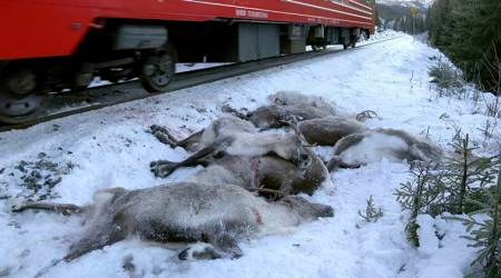 Norwegian train kills 17 reindeer in Arctic