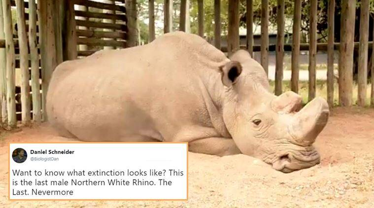northern white rhino, extinction, animals endangered, northern white rhino extinct, white rhino in the world, sudan rhino, indian express, indian express news