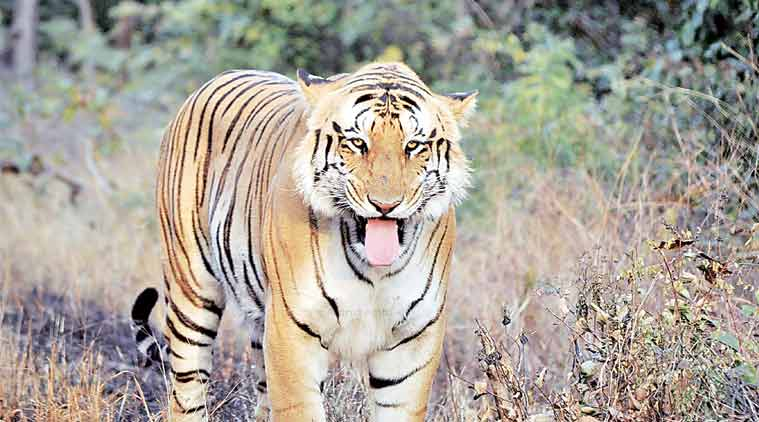 Nagpur, tiger killed, Maharashtra news, indian express, Bazargaon, Bajiro, T2, Nagpur district, wildlife protection, NHAI