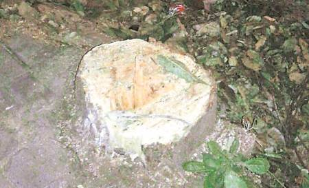 Opposition protests PMC's tree felling drive