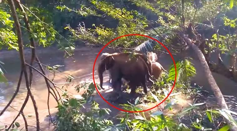 baby elephant video, save baby elephant kerala, kerala elephant rescue, elephant rescue, mother elephant gesture, baby elephant saved, indian express, indian express news