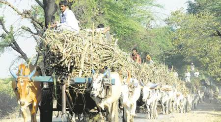 sugarcane cultivation, sugarcane mills, sugarcane farmers, Maharashtra sugarcane farmers, Pune sugarcane farmers, FRP payments, Pune agriculture news, Pune news, Indian express