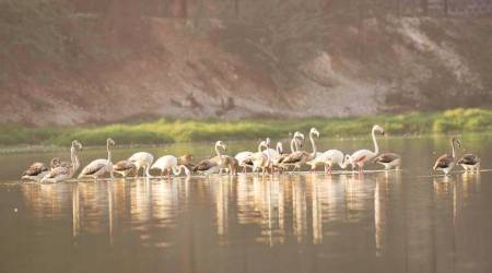 Gujarat: Birdwatchers, officials puzzled as lesser flamingos delay arrival