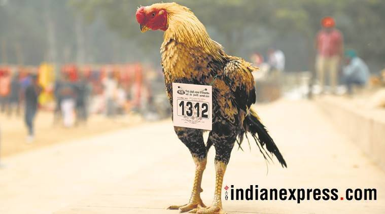 livestock championship, jahlan village, cock fight punjab, rooster fight, chicken, fmd, foot and mouth disease, indian express, fatehgarh sahib