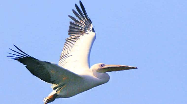birds, animals, wild life, nature, birds flight, bird watching, indian express, indian express news