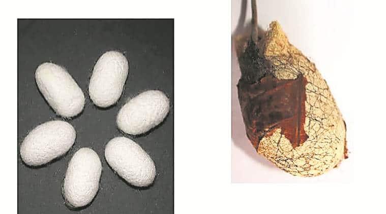 silk protein, zika virus, indian express, pune, research, aedes aegypti, dengue, chikungunya, Mumbai, maharashtra