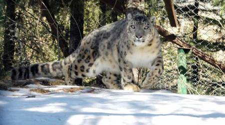HP: Snow leopard rescued in Spiti to be released into the wild