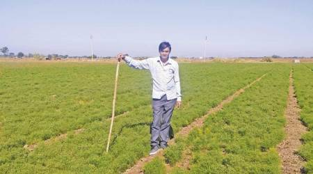 A lone happy story: Jeera provides some cheer to Gujarat farmers