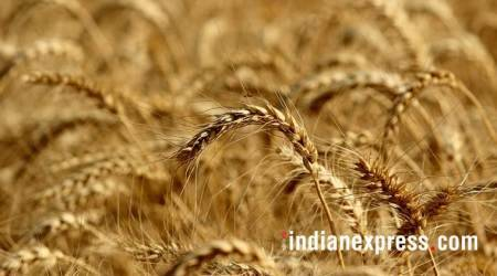 Haryana breaks  its record of wheat procurement