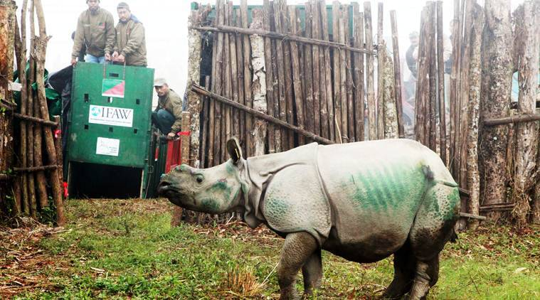 Three rhino calves rescued in 2016 Kaziranga floods shifted to Manas National Park
