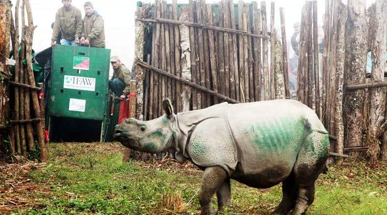Three rhino calves rescued in 2016 Kaziranga floods shifted to Manas National Park