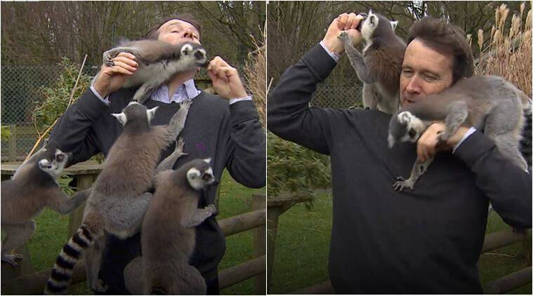 live tv bloppers, bbc reporter lemur attack, bbc reporter lemur video, journalist lemur attack, funny video, viral video, odd news, indian express
