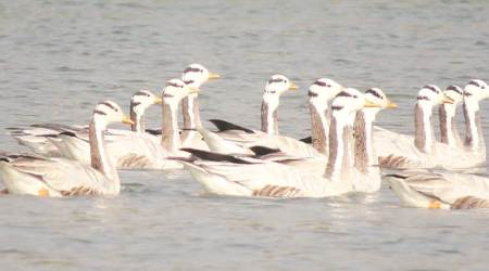 Birds double at Okhla reserve, reveals Asian Waterbird Census