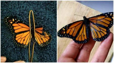 butterfly, woman mends butterfly wings, Romy McCloskey, costume designer saves butterfly, repairs broken wings of butterfly, indian express, indian express news
