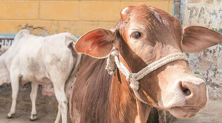 Punjab, Haryana, livestock dugged, milk procurement, drugs on livestock,