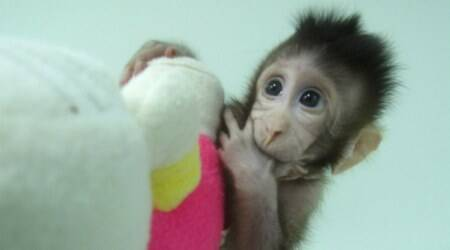 Chinese scientists successfully clone monkeys; humans could benext