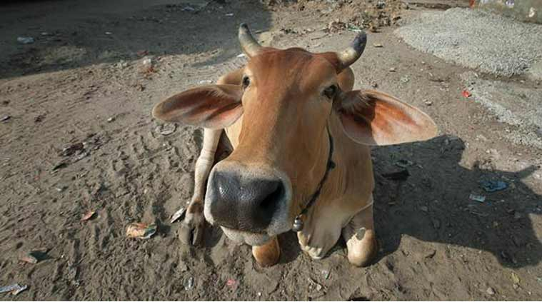 Gujarat, Ahmedabad airport, cow at Ahmedabad airport, cow diverts flight, Sardar Vallabhbhai Patel international airport, Ahmedabad international airport, india news