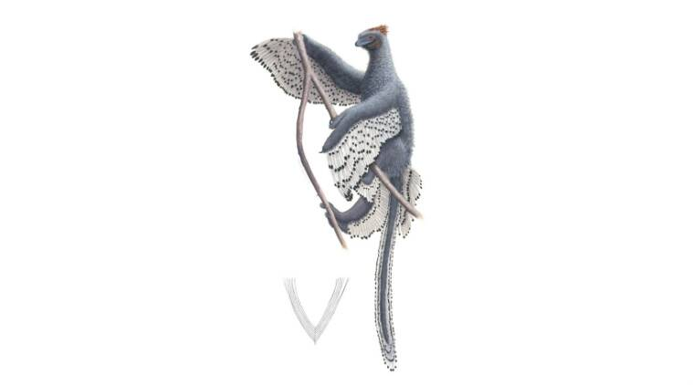 Bird-like dinosaur, dinosaur fossils, herbivorous dinosaur, ornithopods, Museums Victoria, Australia, Antarctica, holotype, dinosaur legs
