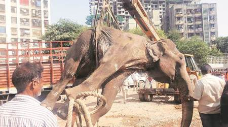 elephant dies in mumbai, elephant laxmi dies in mumbai, maharashtra news, indian express