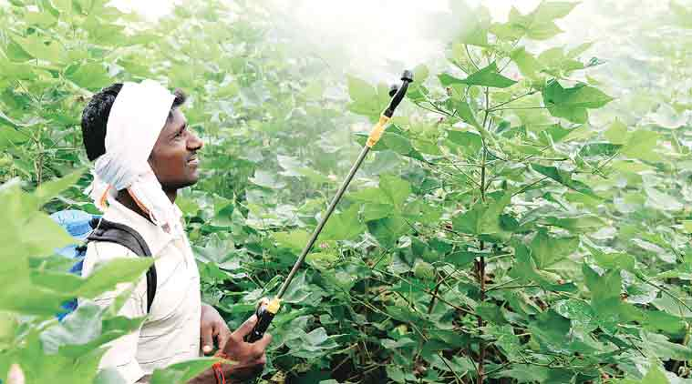 Pink bollworm infected 83 per cent cotton cultivation