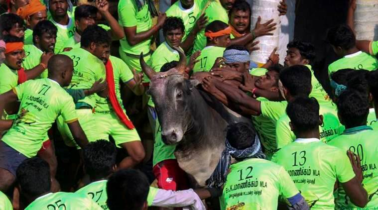 'Jallikattu' held in Coimbatore