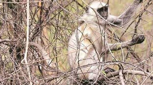 11 langurs found dead in Rajasthan; police suspect they were beaten, dumped