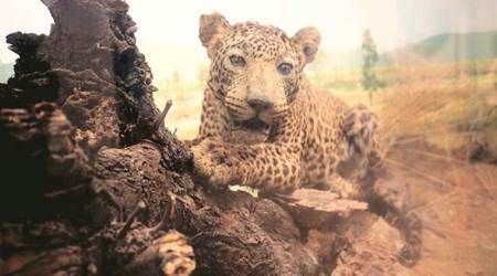 Two kill leopard in 'self-defence' in Nagpur