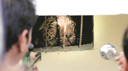 Leopard strays into school for hearing impaired; rescued after six-hour operation by forest dept, cops