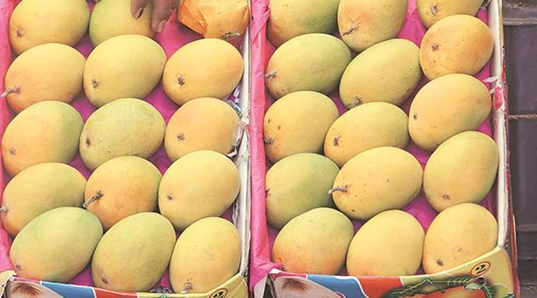 Mangoes, Mango Production, Mango Sales, Maharashtra Mango Market, Maharashtra Mangoes, Mumbai Mango Market, Mumbai Mango Sales, Mumbai News, Latest Mumbai News, Indian Express, Indian Express News
