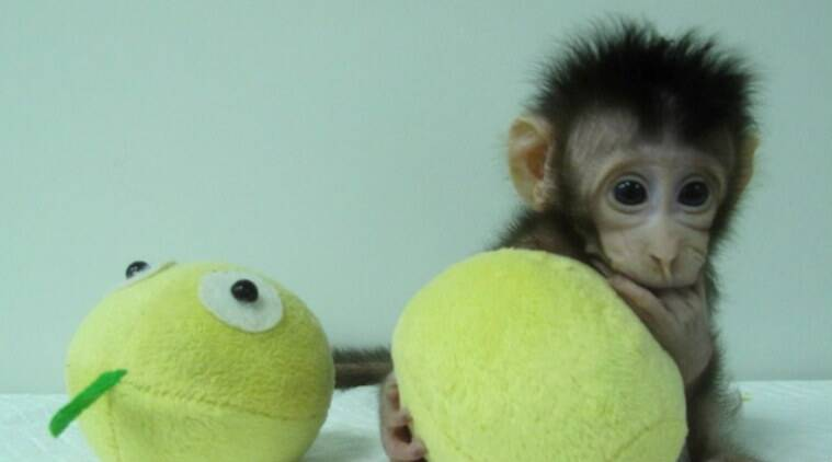Monkey cloning, scientists clone monkeys, Chinese Academy of Sciences Institute of Neuroscience, long-tailed macaques, Dolly the sheep, Zhong Zhong, Hua Hua, bioscience, DNA, cell nucleus